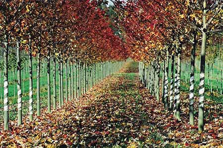 Acer f. Autumn Blaze
